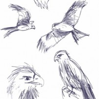 Sam Osborne Red Kites Sketches